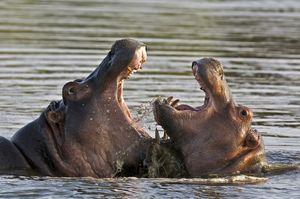 Două hipopotamuri împart teritoriul