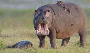 Hipopotamul a ales pradă