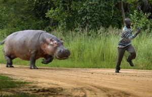 Hipopotamul îl urmărește pe om