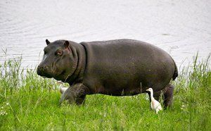 Hipopotam în căutarea hranei
