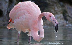 În cazul în care pasărea trăiește flamingo roz