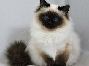 Pisica Himalaya: descrierea caracterului
