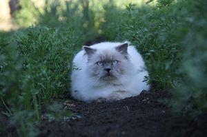Îngrijirea stratului de pisică din Himalaya