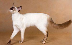 Pisici antiallergenice