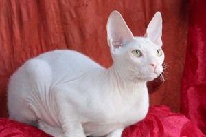 Pisica albă Cornish Rex