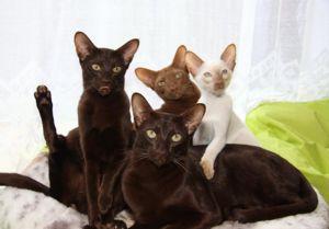 Pisici javaane și pisoi