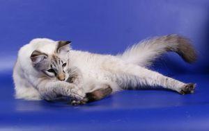 Pisica balerină la expoziție