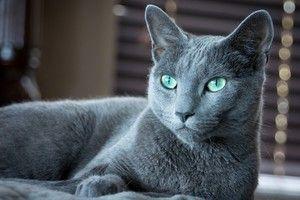 Pisica albastra rusa cu vzgyadom expresiv