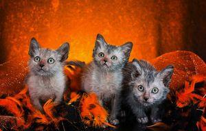 Pisici Lyche