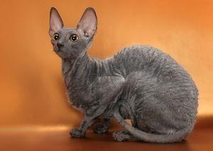 Drăguț pisică Cornish Rex
