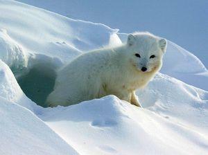 Care sunt obiceiurile de Arctic Foxes