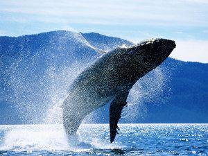 Albinele de balenă albastră