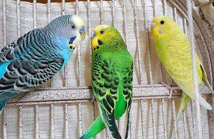 Papagalii înfloriți