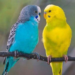 Câțiva papagali