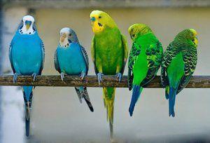 Grup de papagali