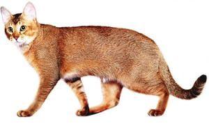 Pisici de rasa Chausi