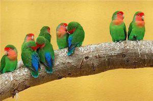 Nerazluchniki - un fel de papagali