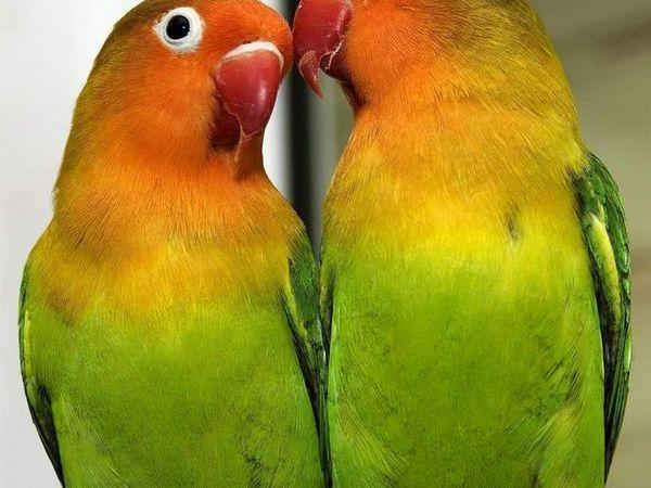 O pereche de paraziți papagali