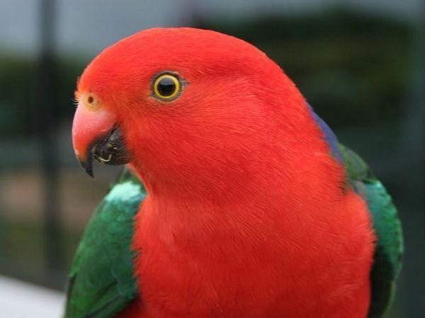 Papagalii regali