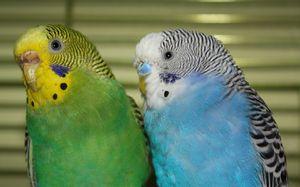 Jucarii pentru papagalii ondulate