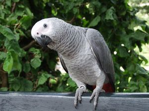 Parrot lăcomitor aloha (vorbitor)