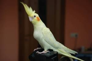 Grijă de papagalul papagal