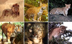 Predatori din familia pisicilor