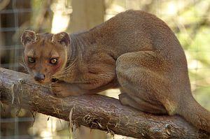 Carnivore Madagascar Viverra