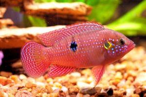 Cromuri de pește de acvariu