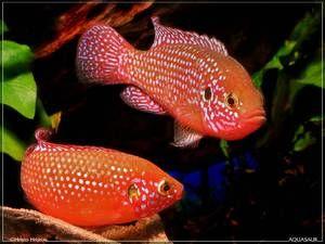 Pește de acvariu