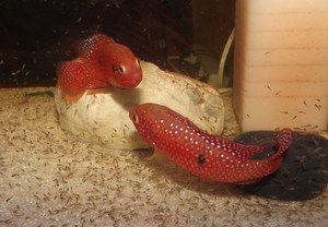 Cromii de pește de acvariu sunt frumos