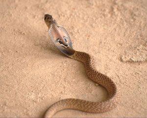 Snake ogre cobra