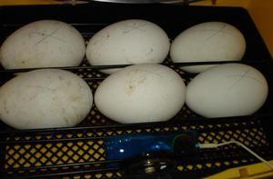 Incubarea ouălor de gâscă