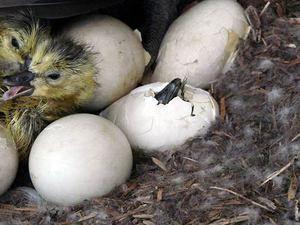 Caracteristici de incubare a goslings