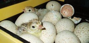 Cum să puneți ouăle