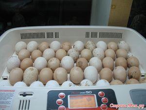 Incubarea ouălor de curcan