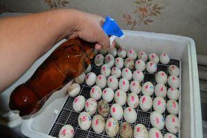 Reguli pentru depunerea ouălor într-un incubator