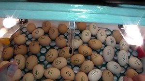 Incubarea ouălor de rață