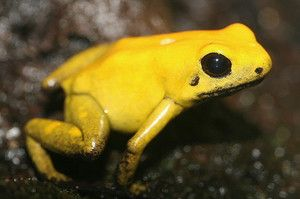 Yellow broasca este cea mai otrăvitoare de pe planetă