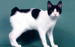 Bobtail japonez: caracteristicile rasei de pisici, grija, preturile