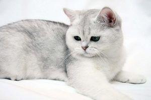 Pisică exotică Shorthair