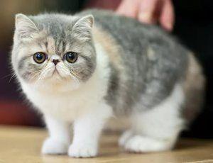 Pisică exotică cu păr scurt cu pisici