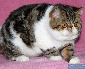 Aspectul și caracterul pisicilor exotice scurte