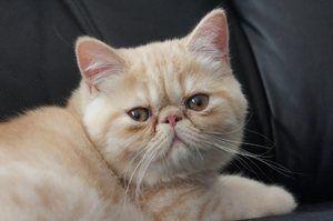 Caracterul pisicii exotice de scurte pisici