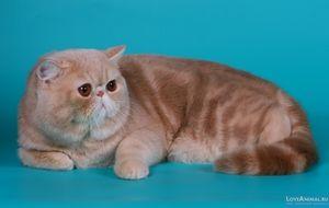 Aspectul unei pisici exotice scurte