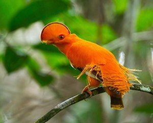 Păsări exotice: specie și descriere