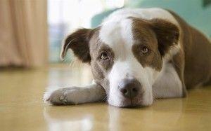 Encefalita la câini - ce trebuie să faceți