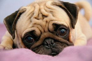 Câinii pot obține encefalită