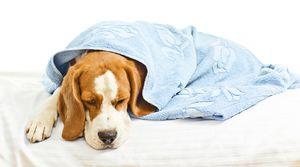 Enterita la câini: simptome și tratament