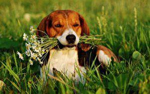 Culoarea câinului estonian